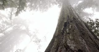 Smooth slider shot at the base of a Redwood tree in the forest