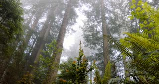 Tall Redwoods in the forest with ferns in the foreground shot from a slider