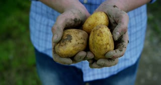 The farmer is holding a biological product of potatoes, hands and potatoes stained with earth. Concept: biology, bio products, bio ecology, grow vegetables, vegetarians, natural clean, fresh product.