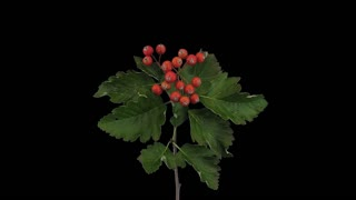 Time-lapse of drying Sorbus Aria (whitebeam or common whitebeam) tree leaves 1a5 in 4K with ALPHA transparency channel isolated on black background