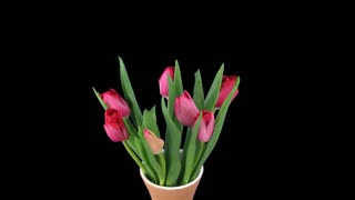 Time-lapse of opening red tulips bouquet in a vase 8a4 in 4K PNG+ format with ALPHA transparency channel isolated on black background