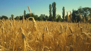 Wheat field. Ears of golden wheat close up. Beautiful Nature Landscape. Rural Scenery under Shining Sunlight. Background of ripening ears of meadow. Rich harvest Concept. Slow motion