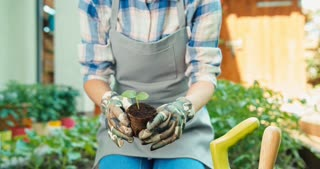 Woman Hands Are Planting Seedlings Of Cucumber In The Soil