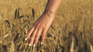 Woman with white nails with his back to the viewer in a field of gold wheat touched by the hand of spikes in the sunset light. Slow motion. Rich harvest Concept
