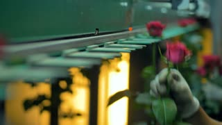 Workers hands install rose stems inside a sorting machine.