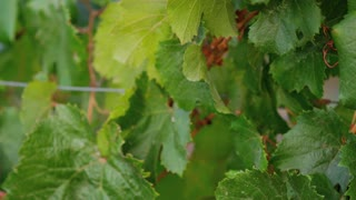 Vine Leaves Tilt Up
