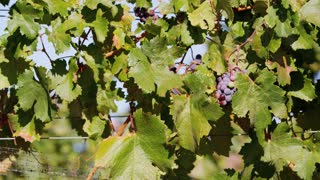 Vineyard Grapes and Leaves