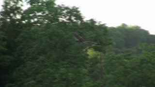 Vulture Soaring Past Trees