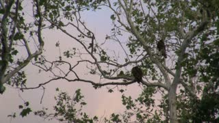 Vultures Perched in Tall Tree