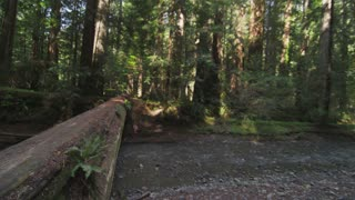 Walking On Fallen Tree in Redwood Forest