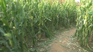Walking Through a Corn Maze 2
