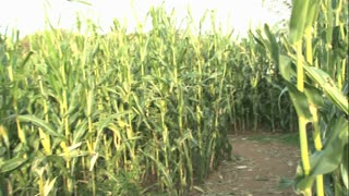 Walking Through a Corn Maze