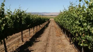 Walking Through Rows Of Wine Grapes