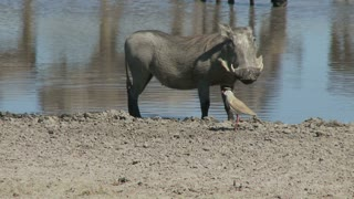 Warthog And Bird