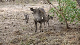 Warthog with his two young ones in Kruger National Park South Africa