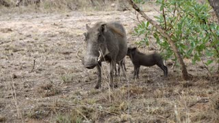 Warthog with his young one in Kruger National Park South Africa