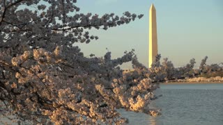 Washington Monument Across Tidal Basin and Cherry Blossom
