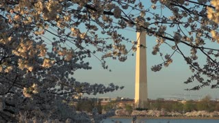 Washington Monument Across Tidal Basin Framed by Cherry Blossom