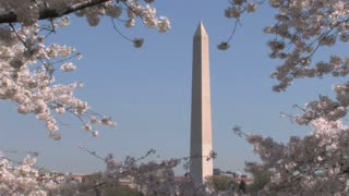 Washington Monument and Cherry Blossoms Zoom Out