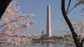Washington Monument through Cherry Blossoms Zoom Out