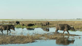 Water Buffalo Through Water