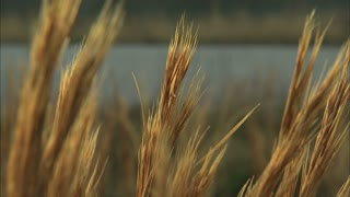 Waving Grain