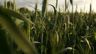 Wheat field in summer, close-up, camera moving up