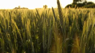 Wheat field in the country in summer, agriculture