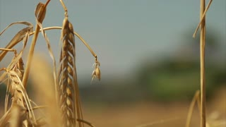 Wheat Stalk To Combine Rack Focus
