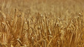 Wheat To Combine Tilt Up