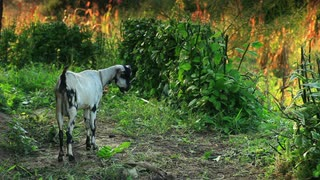 White and Black Goat Eating Grass