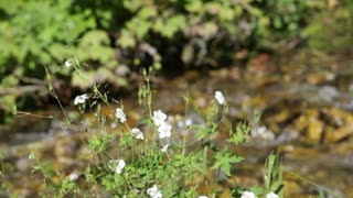 White Flowers in Front of Flowing Stream 3