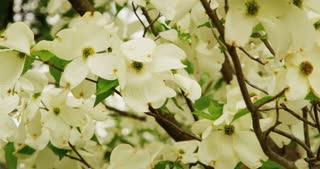White Flowers on Tree in Breeze