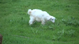 White Goat Pacing and Scratching in Field