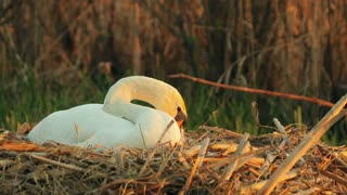 White mute swan in the nest in the evening, sunset, tidying, nature