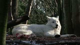 White wolf in forest near bones