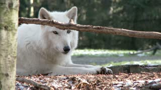 White wolf sitting in the wilderness