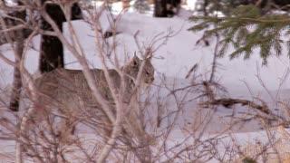 Wild Alaskan Lynx in Snowy Woods