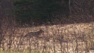 Wild Coyote Trotting Through Brush Into the Forest