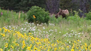 Wild Flower Bed with Moose in the Background