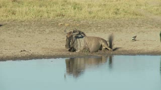 Wildebeest At Drinking Hole