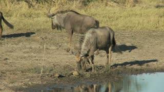 Wildebeest Digging