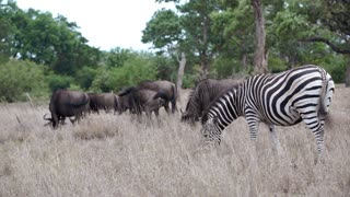 Wildebeests and a zebra eating grass in Kruger National Park South Africa