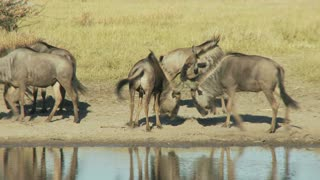 Wildebeests Playing
