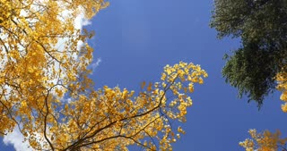 Wind blowing through Aspen trees with fall foliage