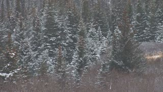 Windy Winter Forest