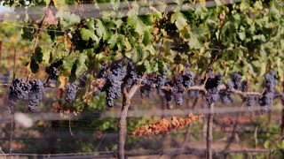 Wine Grape Rows