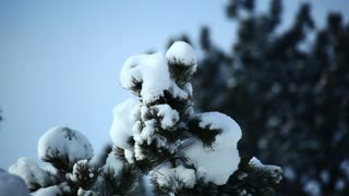 Winter Snow Coating Top of Tree
