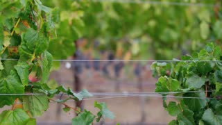 Wire Between Grape Vines