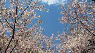 Wispy Cloud Hanging Over Cherry Blossoms